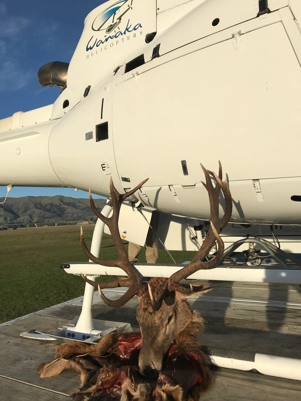 16 point red stag